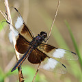 Male Widow Skimmer Dragonfly #3 by Judy Whitton