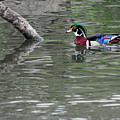 Drake Wood Duck On Pond by Codee Pyke