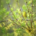 Male Yellow Warbler by Heather Hubbard