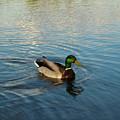 Mallarad Duck 1 by Douglas Barnett