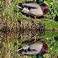 Mallard And Reflection by John Hughes