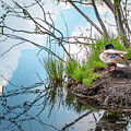 Mallard At Silver Lake by Gina Herbert