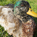 Mallard Close Up by Maggy Marsh