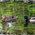 Mallard Couple On A Pond by Kae Cheatham