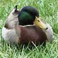 Mallard Duck #2 by Judy Whitton