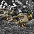 Mallard Duck A4 by John Straton