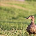 Mallard Duck Anas Platyrhynchos, Female by Gail Salter