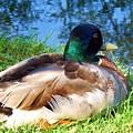 Mallard Duck by Eric  Schiabor