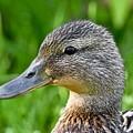 Mallard Duck Female by Jeramey Lende