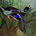 Mallard Duck In Flight By Thorburn by Archibald Thorburn