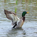 Mallard Duck Landing In Pond by Anita Hiltz