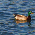 Mallard Drake Duck Swimming by Lita Kelley