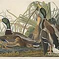Mallard Duck by Robert Havell After John James Audubon
