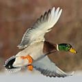 Mallard Duck by Steve Oehlenschlager