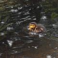 Mallard Duckling by Asbed Iskedjian
