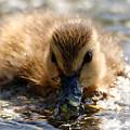 Mallard Duckling by Sue Harper