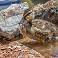 Mallard Duckling by Tamera Wohlever