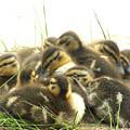 Mallard Ducklings by Angie Rea