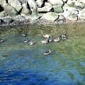 Mallard Ducks Swimming In Port Angeles Harbor  by Delores Malcomson