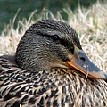 Mallard Female 2 by J M Farris Photography