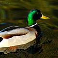 Mallard Green by Clayton Bruster