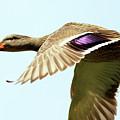 Mallard In Flight . 40d5450 by Wingsdomain Art and Photography
