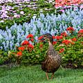 Mallard In The Garden by Zina Stromberg