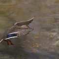Mallard Landing On Thompson's Pond by Susan Williams