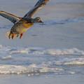 Mallard Landing Over Ice by Yeates Photography
