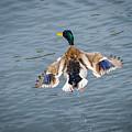 Mallard Male Flying by Mary lee Sampson