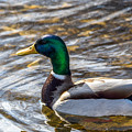 Mallard by Michael Putthoff