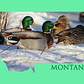 Mallard Montana by Whispering Peaks Photography