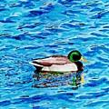 Mallard On Water by DSC Arts