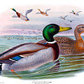 Mallard Or Wild Duck Antique Bird Print Joseph Wolf Birds Of Great Britain  by Orchard Arts