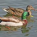Mallard Pair Swimming, Waterfowl, Ducks by Mick Flodin