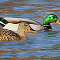 Mallard Pair by Nikolyn McDonald