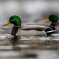 Mallard by Paul Freidlund