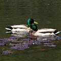 Mallards Amoung The Lilies by Melissa Parks