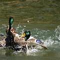 Mallards Fighting by Bob Guthridge