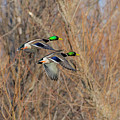 Mallard's In Flight by Kevin Esterline