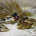 Mallards In The Winter Landscape By Thorburn by Archibald Thorburn