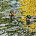 Mallards On Golden Pond 3 by Roxy Hurtubise