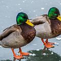 Mallards On Ice by Paul Freidlund