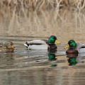 Mallards On The Pond by Linda Crockett