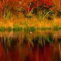 Mallards Through Reflection Of  Fall Colors by Jeff Folger