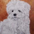 Maltese Puppy by Graciela Castro