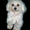 Maltese Terrier Puppy by Kenneth William Caleno