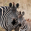Mama And Baby Zebra by Mary Lee Dereske