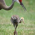 Mama And Juvenile Sandhill Crane by Carol Groenen