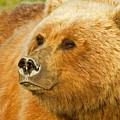Mama Bear Close Up by Shari Sommerfeld